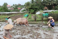 Plowing rice paddies seven months pregnant.